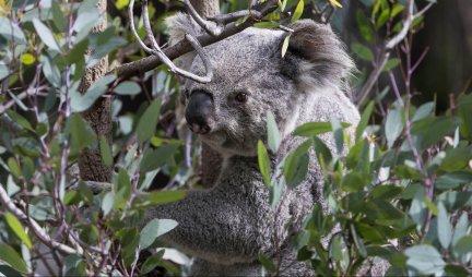 DOKAZ DA LJUBAV NE ZNA ZA GRANICE! Mala koala zagrlila mamu dok su se borili za njen život! /FOTO/