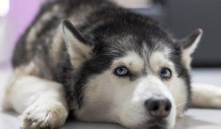 UROĐENA ZAŠTITNIČKA NARAV I LOJALNOST! Predstavljamo vam 10 najboljih pasa ČUVARA!