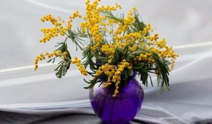 CVET IZUZETNE OTPORNOSTI! Evo zašto mimozu zovu ženskim cvetom