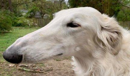 ZVAĆEMO GA RUDOLF DUGAČKI NOSIĆ! Ovaj pas ima najveću njušku na svetu! (FOTO)