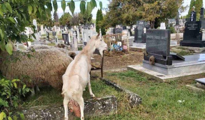 SKANDAL U SOMBORU: Ovce i koze skrnave pravoslavno groblje, dok građani negoduju, NADLEŽNI SAMO SLEŽU RAMENIMA