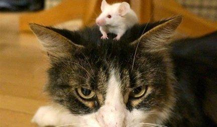 OVO SU PRAVI TOM I DŽERI! Dosadni miš baš rešio da iznervira jednu mačku!