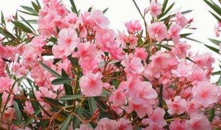TRI SAVETA DA VAM LIJANDER CVETA RASKOŠNO, KAO NA MORU! Ovako će se formirati u gusti žbun prepun cvetova!
